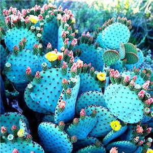 - 200 / bag Mix Succulents Seeds, Rare cactus hybrid bonsai seeds, lotus Lithops seed, Bonsai plants Seeds Flower pots planters - Sky Blue  jetcube