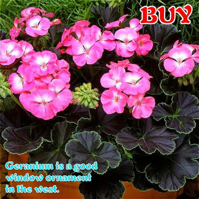 - 100Pcs/bag Geranium Seeds Of Flowers Perennial Indoor Pelargonium Bonsai Plant Garden Flowers Seeds For Balcony Flower Seed 2017 - White  jetcube