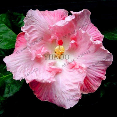- 100pcs/bag Dinnerplate Hibiscus seeds Perennial Flower seeds home& garden plant use10-12 Inch Flowers 24 mixed Colors -   jetcube