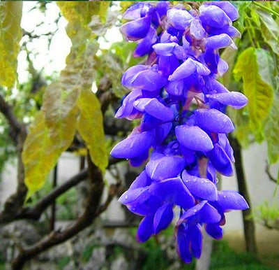 - 10 seeds/ pack. HOT SALE NEW BLUE Wisteria Tree Seeds Indoor Ornamental Plants Seeds Wisteria Flower Seeds,beautiful your gardon -   jetcube