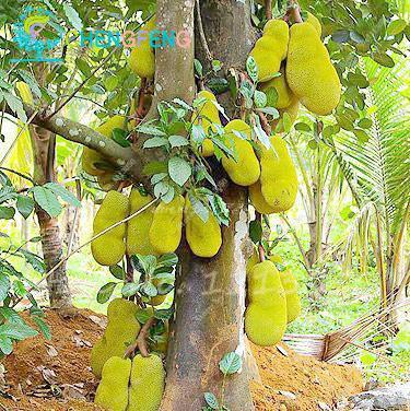 - 10 Pcs Fresh Jackfruit Seeds Tropical Giant Novel Tree Seeds Rare Miracle Fruit Seeds Garden Decor Bonsai Plants Free Shipping - 8  jetcube