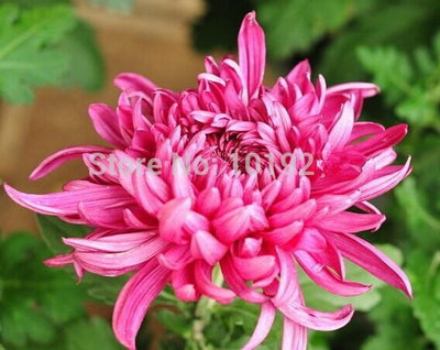 - 100PC Rainbow Chrysanthemum Flower Seeds, Ornamental bonsai,rare color ,new Choose more chrysanthemum seeds Garden flower plant - Red  jetcube