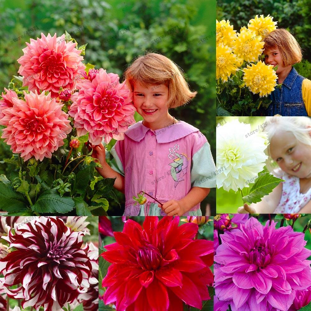 - 20 pcs/bag Multi-color dahlia seeds, dahlia flower, bonsai flower seeds for home garden plant pot High sprouting easy grow -   jetcube