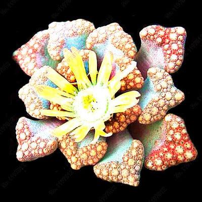 - 200 / bag Mix Succulents Seeds, Rare cactus hybrid bonsai seeds, lotus Lithops seed, Bonsai plants Seeds Flower pots planters - Red  jetcube