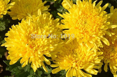 - 100PC Rainbow Chrysanthemum Flower Seeds, Ornamental bonsai,rare color ,new Choose more chrysanthemum seeds Garden flower plant - Yellow  jetcube