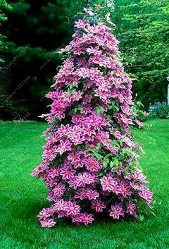 - 100 pcs/bag clematis plant, clematis seeds beautiful climbing plant flower seeds bonsai or pot perennial flowers for home garden - 4  jetcube