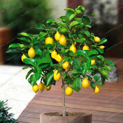 - 10 Pcs Lemon Seeds Delicious Potted Organic Fruit Seeds High Survival Rate Fruit Lemon Tree For Home Garden Healthy Food -   jetcube