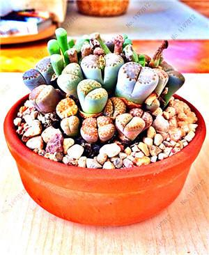 - 200 / bag Mix Succulents Seeds, Rare cactus hybrid bonsai seeds, lotus Lithops seed, Bonsai plants Seeds Flower pots planters - Multi-Colored  jetcube