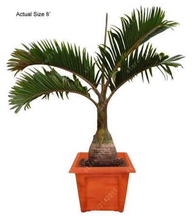 - 10 Pcs/bag Bottle palm tree Seeds Exotic Plants Bonsai tree Tropical Ornamental flower evergreen plant pot for home garden -   jetcube