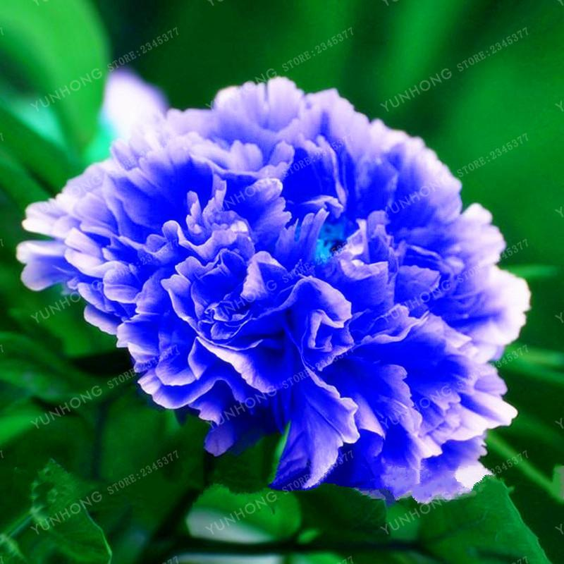 - 10 Pcs/Lot Paeonia Lactiflora Seeds Heirloom Tree Peony Seeds Hardy Perennial Bonsai Plant Home Garden Potted Flowers -   jetcube