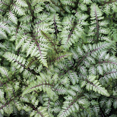 - 100pcs Garden Fern Seeds Rare Creeper Vines Grass Seed Mixed Rainbow Foliage Plants For Bonsai Plant 2017 New Sementes Sale . - Orange  jetcube