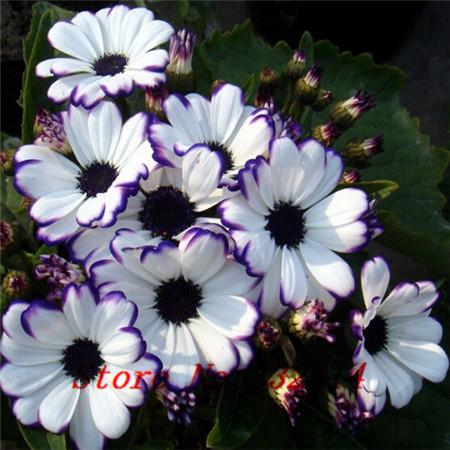 - .Florists Cineraria Seed (100 Seeds) 9 kind different Bonsai Flowers Seeds DIY Home And Garden Decor Free Shipping -   jetcube