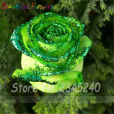 - 120PCS Flower Seed Holland Rose Seed Lover Gift Orange Green Rainbow RARE 23 Color To Choose DIY Home Gardening Flower - 5  jetcube