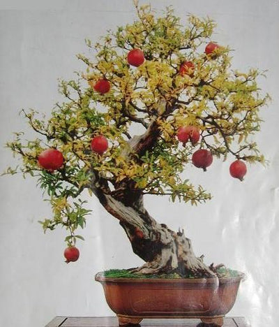 40pcs Bag Bonsai Pomegranate Tree Seeds Very Sweet Delicious Fruit Jetcube