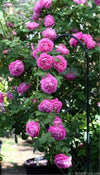 - 100 Pcs Climbing Rose Seeds, Rare Climbing Plant Rose Seeds, Diy Home & Garden, Bonsai Garden Flowers. Multi-color Selection -   jetcube