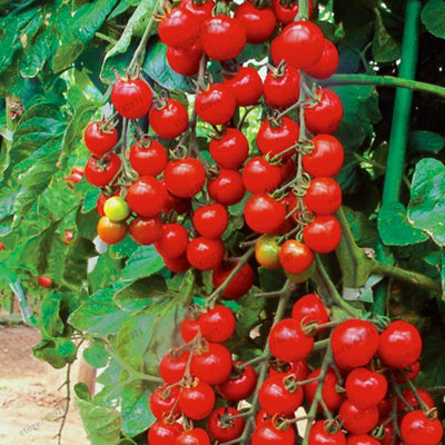 - 100 pcs/bag cherry tomato seeds organic seeds vegetables tomato tree bonsai or pot plant Edible food seeds for home garden -   jetcube