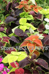 - 2015 Hot 100 RAINBOW MIX COLEUS seeds Flower Seeds -   jetcube
