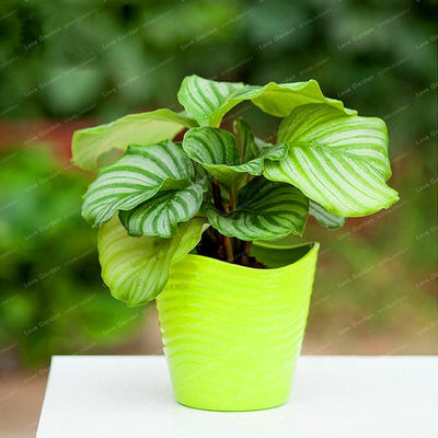 - 100 pcs Calathea Seeds Foliage Plant Bonsai Pot Variety Complete The budding rate 95% Four Seasons Planting Easy To Grow - 1  jetcube