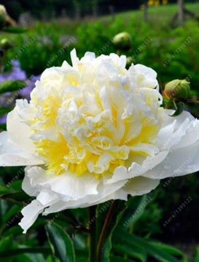 - 10 pcs/bag Double Blooms peony seeds Heirloom Sorbet Robust peony yellow bonsai flower seeds pot tree peony seeds garden plant - 13  jetcube