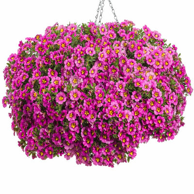 - 100% Real Pink,Blue,Green Petunia Mix Seed, 200 Seed/Pack, Fragrant 'Garden calibrachoa' Hanging Ornamental Flowers Plant -   jetcube