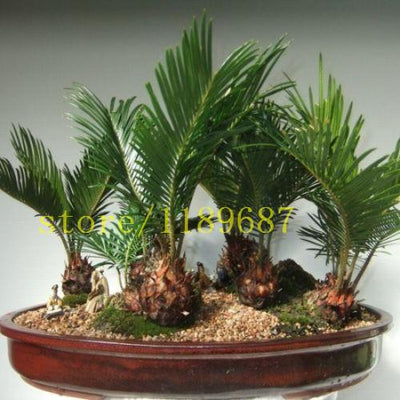 - 10 PCS BONSAI cycas tree seeds rare mini bonsai foliage plants purify the air cycads tree - Default Title  jetcube