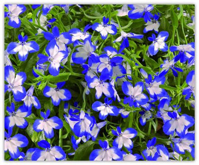 - 100%true lobelia seeds Rare indoor flower seeds in Bonsai,Chlorophytum flower seeds for Perennial Home Garden Plants100pcs/bag -   jetcube