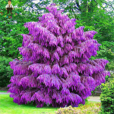 - 100 Pcs Rare Purple Pinus Seeds Chinese Bonsai Tree Pine Seeds Garden Perennial Four Season Evergreen Plants Resistance To Cold -   jetcube