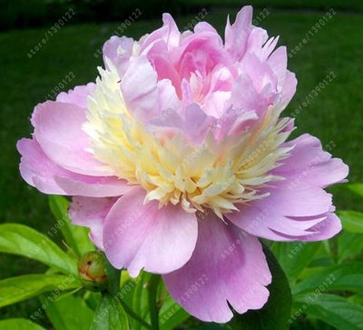 - 10 pcs/bag Double Blooms peony seeds Heirloom Sorbet Robust peony yellow bonsai flower seeds pot tree peony seeds garden plant - 23  jetcube