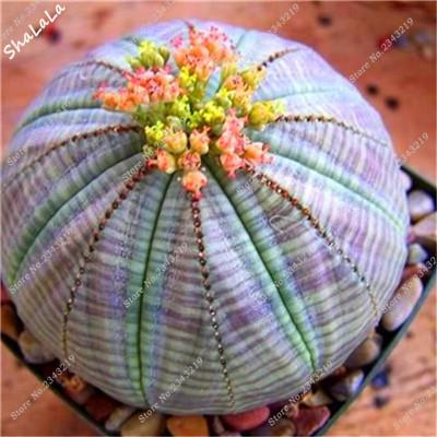 - 10 Pcs/Bag Real Mini Cactus Seeds, Rare Succulent Perennial Herb Plants,Bonsai Pot Flower Seeds, Indoor Plant Easy Grow In Pots - 7  jetcube