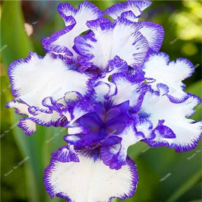 - 100% True Purple Gladiolus Bulbs Seeds, 50 Pcs Perennial Flower Seeds Rare Sword Lily Aerobic Potted Plant Bonsai Garden Balcony -   jetcube