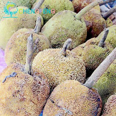 - 10 Pcs Fresh Jackfruit Seeds Tropical Giant Novel Tree Seeds Rare Miracle Fruit Seeds Garden Decor Bonsai Plants Free Shipping - 7  jetcube