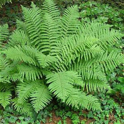 - 100pcs Garden Fern Seeds Rare Creeper Vines Grass Seed Mixed Rainbow Foliage Plants For Bonsai Plant 2017 New Sementes Sale . - Blue  jetcube