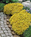 - 200 Creeping Thyme Seeds Flower Seeds ROCK CRESS GROUND COVER Seeds Carpet Evergreen Plant Easy to Grow for Garden Lawn -   jetcube