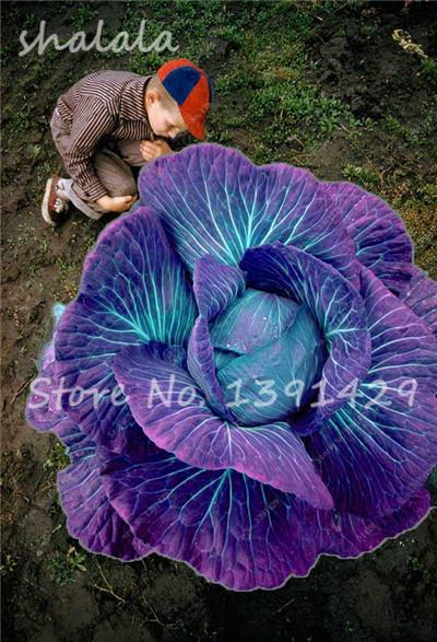 - 100 pcs/bag Giant Cabbage Seeds, Rare Russian Cabbage Seeds, Organic, Non-GMO Vegetable Seeds for Home & Garden - 6  jetcube