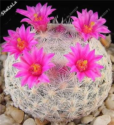 - 10 Pcs/Bag Real Mini Cactus Seeds, Rare Succulent Perennial Herb Plants,Bonsai Pot Flower Seeds, Indoor Plant Easy Grow In Pots - 4  jetcube