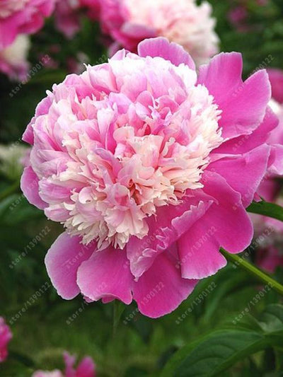 - 10 pcs/bag Double Blooms peony seeds Heirloom Sorbet Robust peony yellow bonsai flower seeds pot tree peony seeds garden plant - 1  jetcube