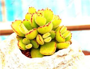 - 200 / bag Mix Succulents Seeds, Rare cactus hybrid bonsai seeds, lotus Lithops seed, Bonsai plants Seeds Flower pots planters - Deep Blue  jetcube