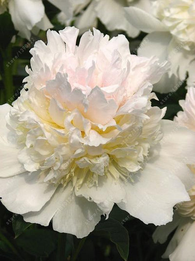 - 10 pcs/bag Double Blooms peony seeds Heirloom Sorbet Robust peony yellow bonsai flower seeds pot tree peony seeds garden plant - 3  jetcube