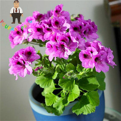 - 100Pcs/bag Geranium Seeds Of Flowers Perennial Indoor Pelargonium Bonsai Plant Garden Flowers Seeds For Balcony Flower Seed 2017 -   jetcube