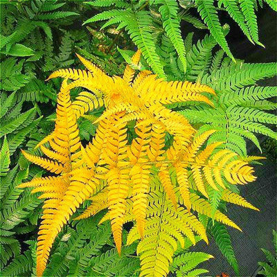 - 100pcs Garden Fern Seeds Rare Creeper Vines Grass Seed Mixed Rainbow Foliage Plants For Bonsai Plant 2017 New Sementes Sale . - Violet  jetcube