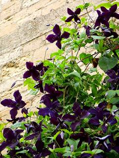 - 100 pcs/bag clematis plant, clematis seeds beautiful climbing plant flower seeds bonsai or pot perennial flowers for home garden - 8  jetcube