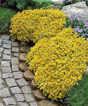 - 200 Creeping Thyme Seeds Flower Seeds ROCK CRESS GROUND COVER Seeds Carpet Evergreen Plant Easy to Grow for Garden Lawn - 3  jetcube