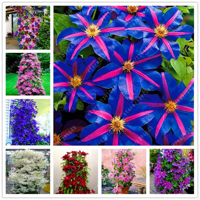 - 100 pcs/bag clematis plant, clematis seeds beautiful climbing plant flower seeds bonsai or pot perennial flowers for home garden -   jetcube