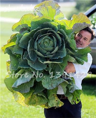- 100 pcs/bag Giant Cabbage Seeds, Rare Russian Cabbage Seeds, Organic, Non-GMO Vegetable Seeds for Home & Garden - 14  jetcube