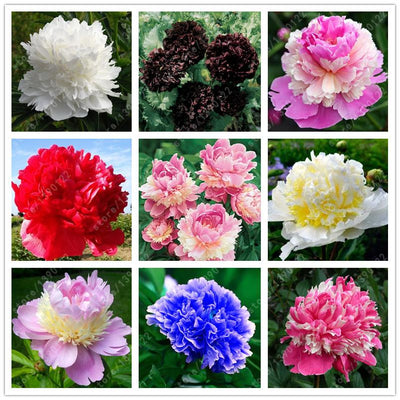 - 10 pcs/bag Double Blooms peony seeds Heirloom Sorbet Robust peony yellow bonsai flower seeds pot tree peony seeds garden plant -   jetcube