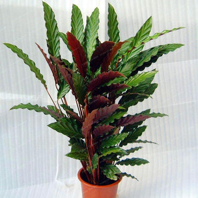 - 100 pcs Calathea Seeds Foliage Plant Bonsai Pot Variety Complete The budding rate 95% Four Seasons Planting Easy To Grow - 3  jetcube