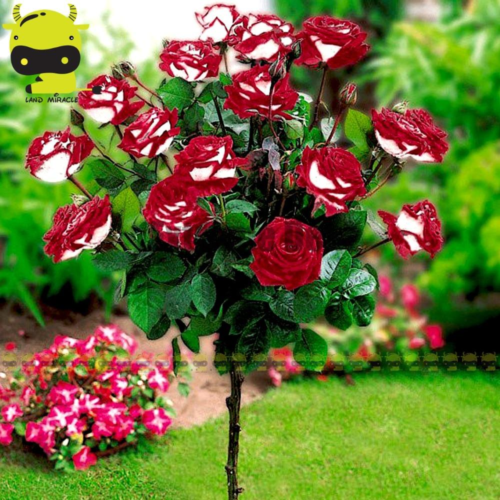 100 Genuine Osiria Rose Seeds 50 Seeds Bonsai Rose Tree Seeds Rare Jetcube