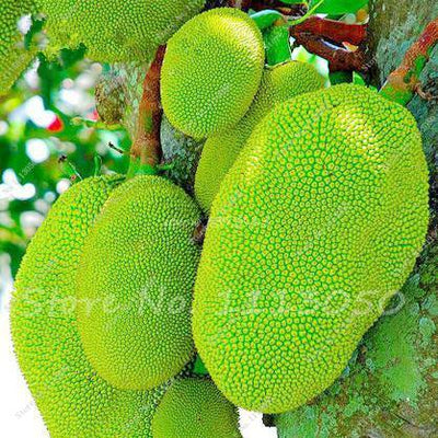 - 10 Pcs Fresh Jackfruit Seeds Tropical Giant Novel Tree Seeds Rare Miracle Fruit Seeds Garden Decor Bonsai Plants Free Shipping - 6  jetcube