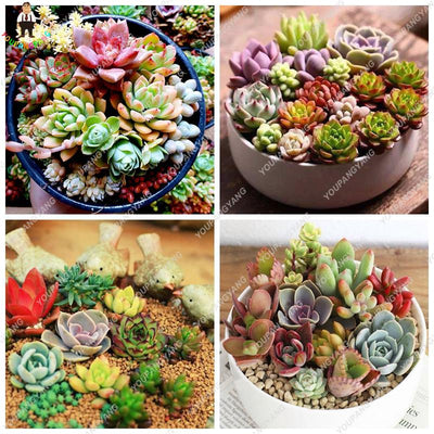 - 100pcs Fleshy Colorful Lithops Seed Pseudotruncatella Succulentas Raw Stone Cactus Seeds Succulents Potted Flowers -   jetcube
