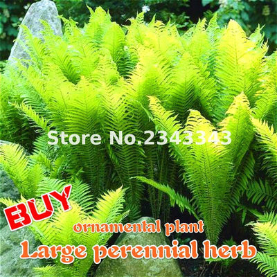 - 100pcs Garden Fern Seeds Rare Creeper Vines Grass Seed Mixed Rainbow Foliage Plants For Bonsai Plant 2017 New Sementes Sale . - Burgundy  jetcube